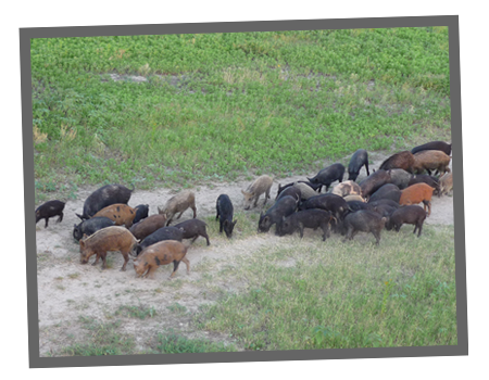 Hog Hunts at ADL7 Hunting Ranch