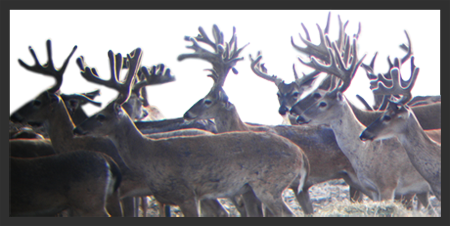 Whitetail Hunts at ADL7 Ranch